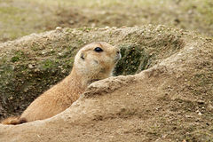 Prairie Dog Stock Image