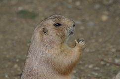 Prairie Dog. Close-Up of Prairie Dog holding food in paws looking off to right in enclosure in London Zoo Royalty Free Stock Photography