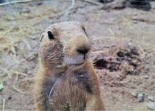 Prairie dog close-up Stock Photo