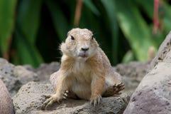 Prairie dog. Closeup view of a prairie dog sitting on a rock Royalty Free Stock Photo