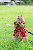 Prairie dog in cloth standing on grass Royalty Free Stock Photo