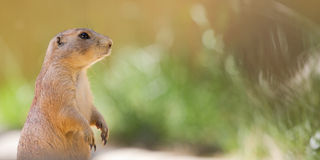 Prairie dog with colourful background. Prairie dog looking to the right Stock Photography
