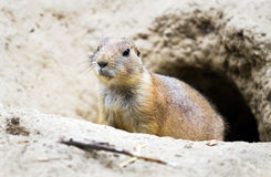 Prairie dog coming out from burrow. Horizontal Royalty Free Stock Photo