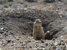 Prairie Dog Coming out of Underground Burrow in the Morning Stock Image