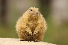 Prairie dog covered with sand standing upright Stock Photo