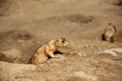 Prairie Dog (Cynomis Ludovicianus). Looks out of his lair Royalty Free Stock Photo