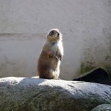 Prairie dog - Cynomys Royalty Free Stock Photo
