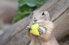 Prairie dog (Cynomys). Prairie dog eats an apple Royalty Free Stock Photo