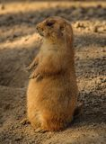 Prairie Dog, Cynomys Royalty Free Stock Photography