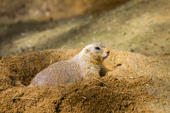 Prairie Dog - Cynomys - Hidden in Hole. Animal in Sand Photo stock images