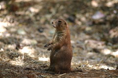 Prairie dog (Cynomys) Royalty Free Stock Photography