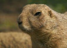 Prairie dog (Cynomys ludovicianus). Portrait photo of Prairie dog royalty free stock photo