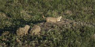 Prairie Dog (Cynomys ludovicianus) Alerts From Burrow Stock Images