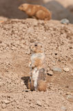 Prairie Dog (Cynomys ludovicianus) Stands Stock Image