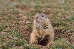 Prairie dog (cynomys ludovicianus) Royalty Free Stock Photos