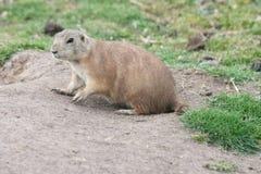 Prairie dog (Cynomys) Royalty Free Stock Photography