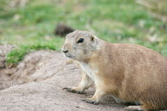 Prairie dog (Cynomys) Stock Images