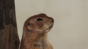 Prairie dog or Cynomys, stands closeup Stock Photo