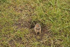 Prairie Dog Cynomys in Yellowstone national park. In spring time stock photo