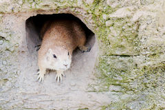 Prairie dog in den Stock Image