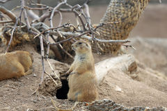 Prairie dog in the desert royalty free stock photography