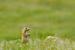 Prairie dog at Devil's tower, Wyoming, USA Stock Photo