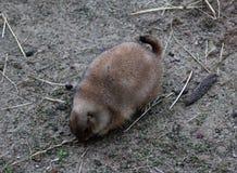 Prairie dog digging Royalty Free Stock Images