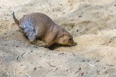 Prairie dog digging hole. Or motion blurred digging hole by Prairie dog Stock Photos