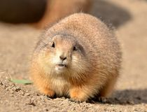 Prairie dog. S (genus Cynomys) are burrowing rodents native to the grasslands of North America. The five different species of s are: black-tailed Stock Photos