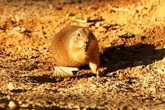 Prairie dog. S moves on sand stock image
