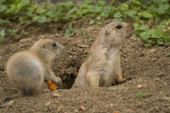 Prairie Dog Stock Photos