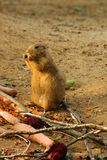 Prairie dog. S standing and feeds stock images
