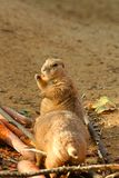 Prairie dog. S standing and feeds royalty free stock image