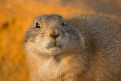 Prairie dog. Dramatic look, on orange sand Royalty Free Stock Photos