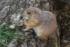 Prairie dog eat green grass stalk on tree trunk Royalty Free Stock Image