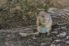 Prairie dog eat green grass stalk on tree trunk Stock Images