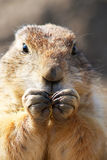 Prairie dog eating. Grass with his two little hands in front of his face Stock Image