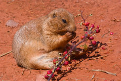 A prairie dog eating Royalty Free Stock Photography