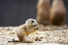 Prairie dog eating Stock Photos