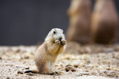 Free Prairie Dog Eating Stock Photo - 14469760