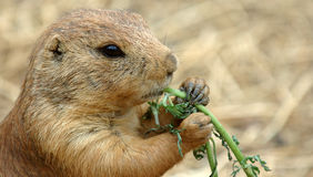 Prairie Dog eating. Praire Dog eating greens - captive animal stock images
