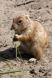 Prairie-dog eating Stock Photos