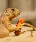 A prairie dog is eating. A carrot Royalty Free Stock Photos