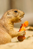 A prairie dog is eating. A carrot Royalty Free Stock Photography