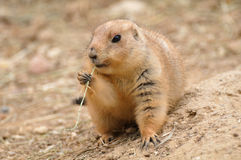 Prairie dog eating Royalty Free Stock Photo