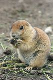Prairie dog eating Royalty Free Stock Photos