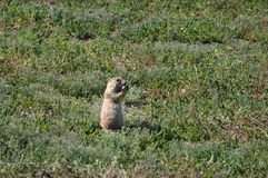 Prairie dog eating, Badlands National Park, South Dakota, USA Royalty Free Stock Photo