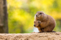 Prairie dog eating bread Royalty Free Stock Photography