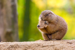 Prairie dog eating bread Stock Image