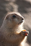 Prairie dog eating a carrot. Little prairie dog eating a carrot while holding it in its hands Stock Photo
